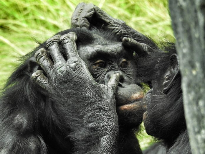 Salonga National Park bonobo Congo