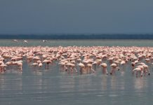 Lake Nakuru national park Kenia