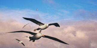 Namibië albatros