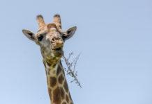 Twee zeldzame dwerggiraffen ontdekt in Namibië en Oeganda