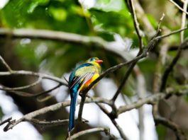 Arabuko Sokoke National Park Trogon