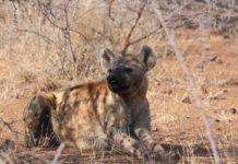 Kora National Park hyena