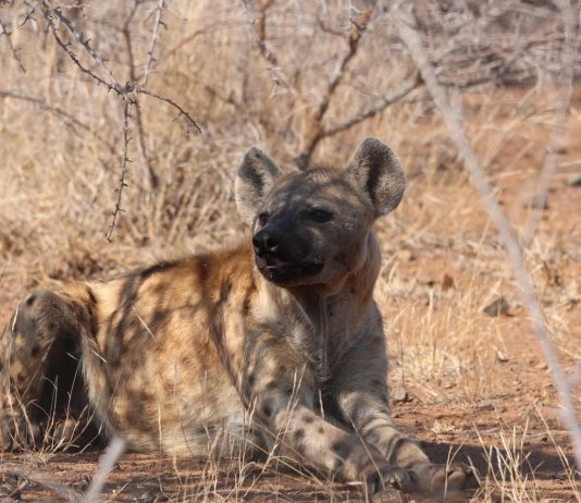 Kora National Park hyena