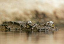 Jonge krokodillen breken vrij in de provincie West-Kaap in Zuid-Afrika